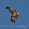 Red Tailed Hawk   light phase juve