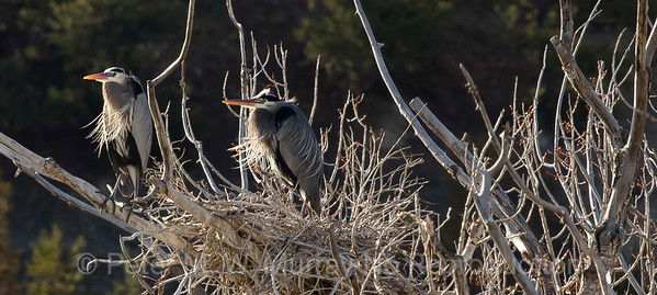 Great Blue Herons ponder the next move.