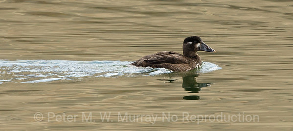 Surf Scoter on Dailey Lake 10 27 17