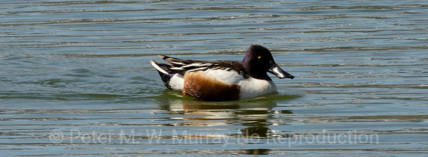 Shoveler..note the broad bill...like a shovel.