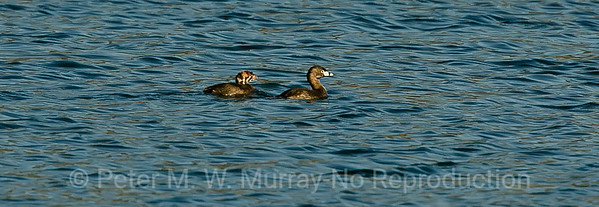 Pied Grebe and Chick.