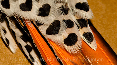 "Red-shafted Flicker ""Hearts"""