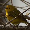 Yellow Warbler in his habitat.