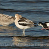 Ring-billed Gull, Avocet and Black-necked Stilt