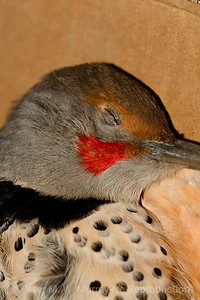 Red Cheek..and head and neck of the Red-shafted Flicker.