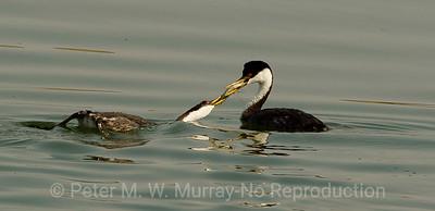 Western Grebe feeds chick.