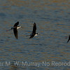 Black-necked Stilts on final approach.