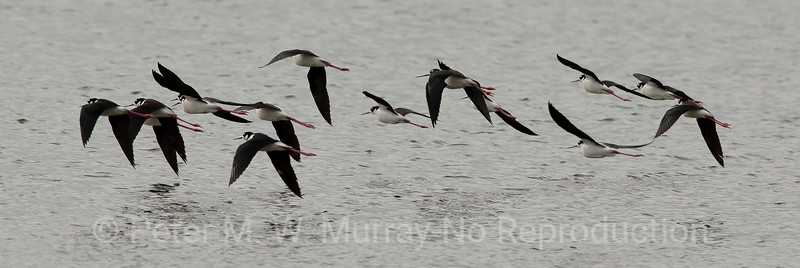 Black-necked Stilts on Dailey Lake...a rare sighting.