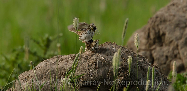 Lincoln Sparrows mating