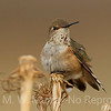 Female Calliope Hummingbird