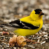 7 Am Goldfinch
