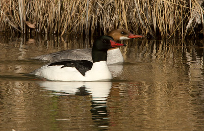 Common Merganser pair.