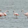 Phoenicopterus chilensis<br /> Flamingo-chileno<br /> Chilean Flamingo<br /> Flamenco - Guarimbo pytâ