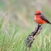 Pyrocephalus rubinus<br /> Príncipe<br /> Vermilion Flycatcher<br /> Churrinche - Guyra pytâ
