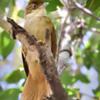 Automolus leucophthalmus<br /> Barranqueiro-de-olho-branco<br /> White-eyed Foliage-gleaner<br /> Ticotico ojiblanco