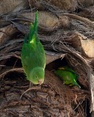 Yellow-chevroned Parakeet - they live in the openings of the date palm fronds .