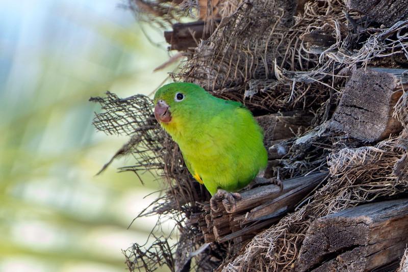 Yellow-chevroned Parakeet  Parakeet