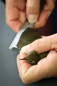 Bird Banding at Powdermill Avian Research Center