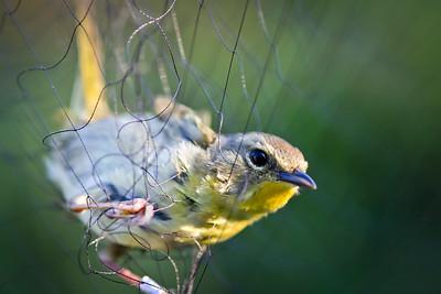 Willow Flycatcher