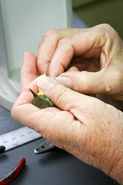 Bird Banding at Powdermill Avian Research Center