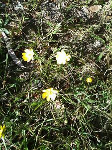 Alpine buttercup (ranunculae) 3-26-10.