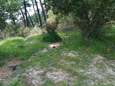 Alpine buttercup (Ranunculus) 3-28-10
