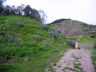 Bush lupine (Lupine albifrons)