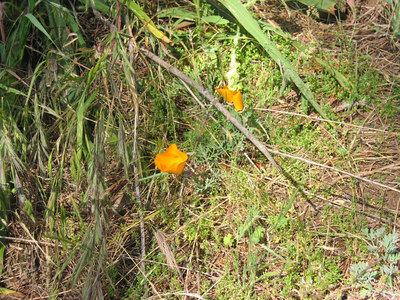 South Loop Trail: Last of the Poppies (Eschscholzia californica californica)