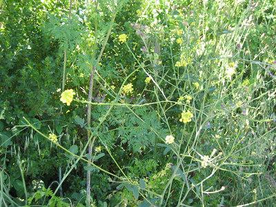Field mustard.