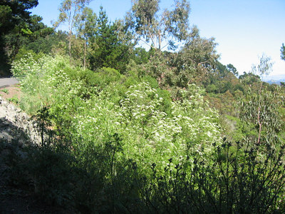 At the south fork on Round Top Loop: The Poison Hemlock (Conium maculatum) is a full 4'-6' tall now, in full bloom.