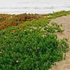 Ice plants dunes