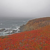 Ice plant in the fall