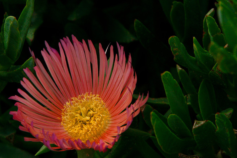 Ice Plants come in several colors.  They cover the coastal cliffs and are and exotic.