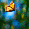Monarch Butterflies are everywhere in the area, there are several groves that have over 20,000 wintering