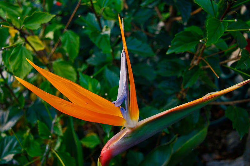 Bird of Paridise flower showed up in my front yard when they cleared away a overgrown bush