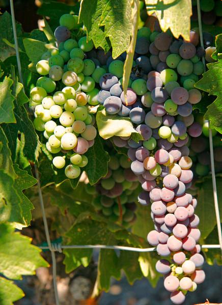 Grapes in the Paso Robles area