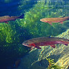 Rainbow trout in a clear spring lake