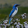 This Western Scrup Jay was in the Elfin Forest in Los Osos one of out favorite places to walk