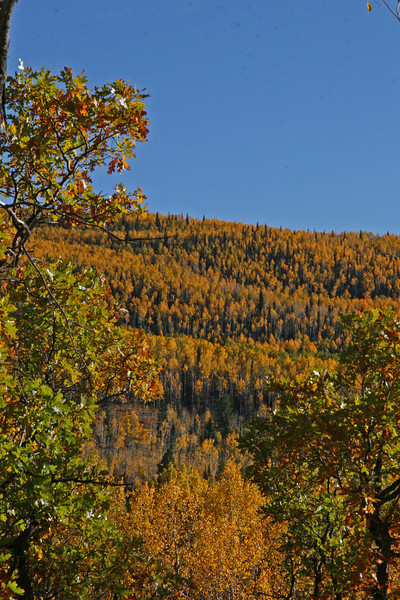 Aspen bands on McClures pass, Colorado