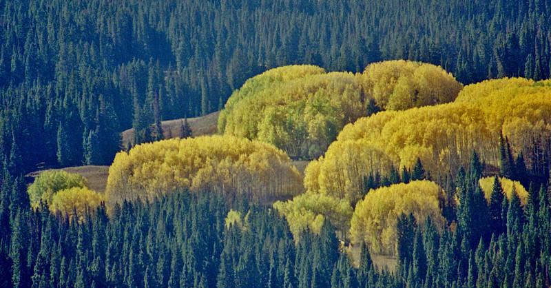 Aspen clumps Fall colors