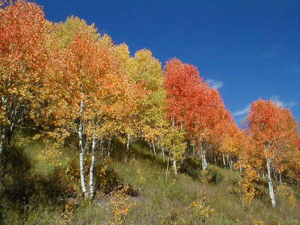 Fall Aspens Fall colors