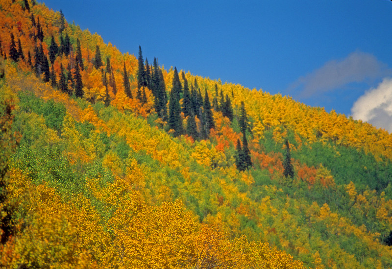 Fall colors cascade down a slope in Crystal River Colorado