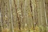 aspen trees with rosehips