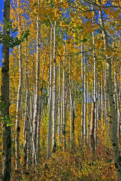 Golden Aspen and blue skies