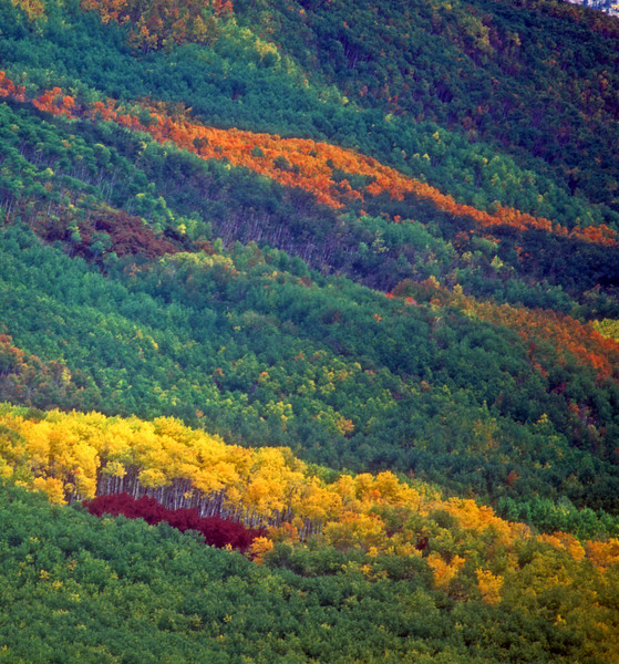 Fall colors come in different shades and color for the aspen clones and oaks