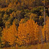 Aspen Trees turn at differnt times by their genetic clones