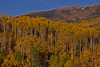 Bands of golden aspen