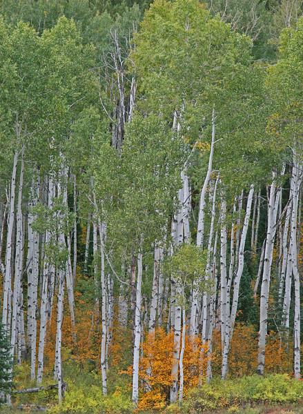 Aspen Grove Fall colors