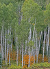 Aspen Grove Fall colors