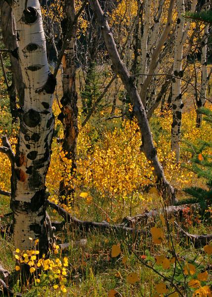 Old Aspen and new aspen